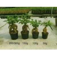 Quality Ficus Ginseng/Bonsai/Indoor Plant for sale