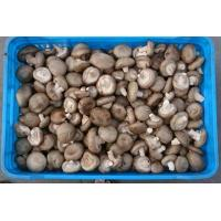 Quality Fresh shiitake mushroom for sale