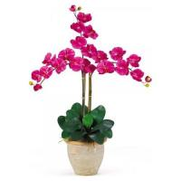 Quality The hotsale nice small moth-orchid for sale
