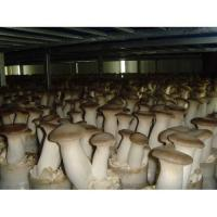 Quality Eryngii Mushroom-A for sale