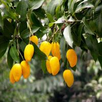 Quality African Mango Seeds Extract , a cure for overweight for sale