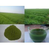 China 100% natural Bayley  grass powder,Organic Barley Grass powder,High quality Barley GrassPowder on sale