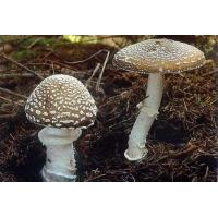 Quality Amanita muscaria, commonly known as the fly agaric or fly amanita, is a basidiomycete mushroom for sale