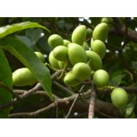 Quality fine yellow green Powder 10%-50% oleuropein/olive leaf extract --Olea europea L. for sale