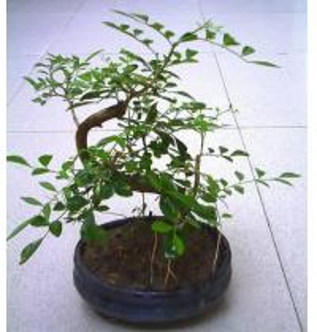 Quality Bonsai Tree Murraya for sale