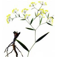 Quality Bupleurum chinense DC. dried root for sale