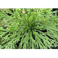Quality Selaginella lamariscina Spring .dried whole parts for sale