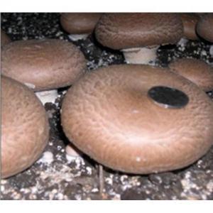 Quality Fresh Portabella Mushroom for sale