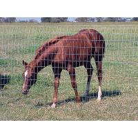 A head of brown horse is eating grass in the meadow with hinge joint fence.