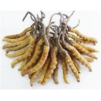 Quality Chinese Cordyceps Sinensis P.E.(C.Sinensis) with 10%~40% Polysaccharides for sale