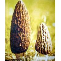 Quality Morel/Morchella/Organic Wild Mushroom for sale