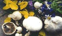 Quality White Mushrooms of the Prairie for sale