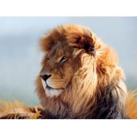 Quality Strong Lion Plastic 3D Print Service Animal Designs 420mm × 594mm for sale