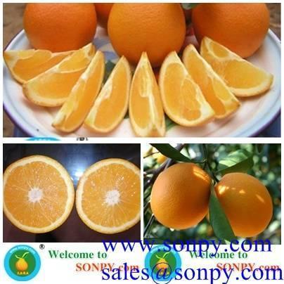 Buy navel orange,fresh orange,mandarin orange at wholesale prices