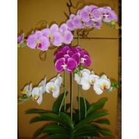 Quality 2012 new phalaenopsis orchids for home decoration for sale