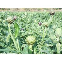 Buy cheap Artichoke Leaf P.E/Carciofo Globe Artichoke from wholesalers
