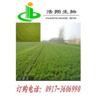 Quality Wheat sprout extract for sale