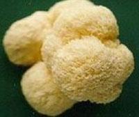 Quality Hericium Erinaceus/Wildlife Mushroom for sale