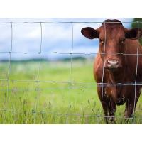 A head of brown cattle is looking out through the hinge joint fence.