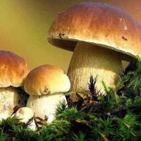 China Boletus Edulis, Available in Fresh/Dried/Sliced/Frozen Types on sale