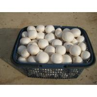 Quality button mushroom for sale