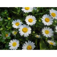 Quality 100% natural 0.8% Parthenolide Feverfew Extract, Panacetum parthenium extract for sale