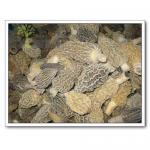 Quality Mushrooms,Morel Mushroom,Wild Mushrooms for sale