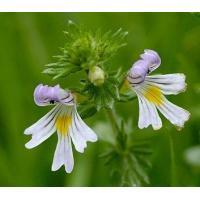 Quality Proportional Extracts :Eyebright Herb extract for sale