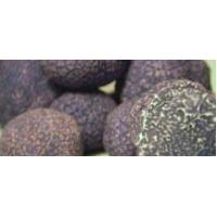 Quality Tuber indicum Cook et Massee for sale