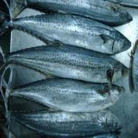 Quality Spanish Mackerel for sale