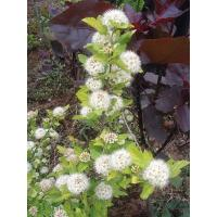 "Buy cheap Physocarpus opulifolius ""Darts Gold"" from Wholesalers"