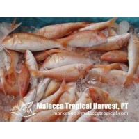 Quality Red Mullet for sale
