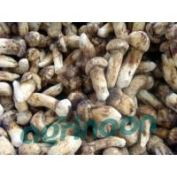 Buy cheap Frozen Matsutake Mushroom from wholesalers
