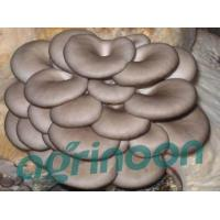 Buy Fresh Oyster mushroom at wholesale prices