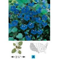 Buy cheap Individual Species California Bluebells from Wholesalers