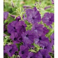 Quality Supertunia Indigo Charm Petunia hybrid Petunia for sale