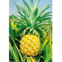 Quality 100% Nautural Supplement Pineapple extract bromelain powder for sale