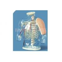 Quality BLG/H30 Upper arm Intramuscular Injection and Contrastive Model for sale