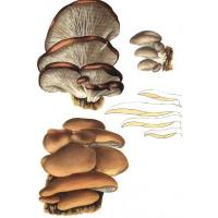 Quality Oyster mushroom Extract for sale