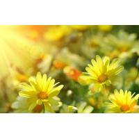 Buy cheap Wild Chrysanthemum Extract from wholesalers