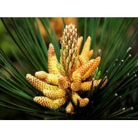 Quality cell cracked pine pollen powder for sale