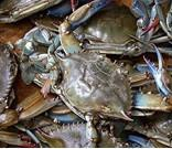 Quality Zhoushan swimming crab for sale
