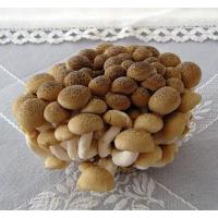 Quality Fresh Mushroom TC0104 for sale