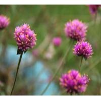 Quality Herbal Extract Red Clover Extract for sale